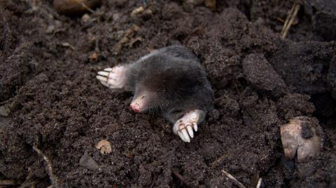 Mole emerging from the soil