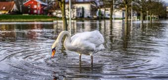 Swan in flooded street